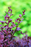 Barberry branch on the green background Royalty Free Stock Photo