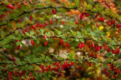 Barberry branch with green leaves. Barberry bush in the gaden with red berries on branches with green foliage stock photo