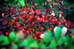 Barberry branch with red berries royalty free stock image