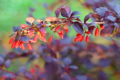 Barberry branch with ripe berries stock photography