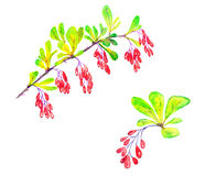 Barberry branch with ripe berries. Hand painted  Watercolor Illustration Barberry branch with ripe berries Royalty Free Stock Photo