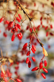 Barberry branch with ripe berries, Russia. Barberry branch with ripe berries Stock Photos