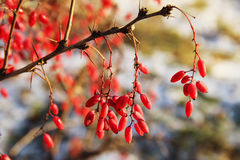 Barberry branch with ripe berries, Russia. Barberry branch with ripe berries Royalty Free Stock Photography