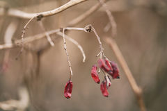 Barberry branch in spring with dry berries. Shallow focus stock images