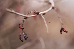 Barberry branch in spring with dry berries. Shallow focus royalty free stock image