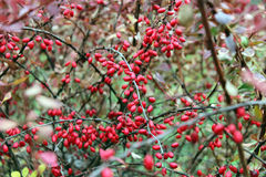 Barberry branches with berries Royalty Free Stock Photography