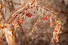 Barberry branches covered with ice Stock Image
