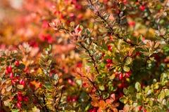 Barberry  bush in autumn Stock Photos