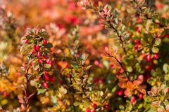 Barberry  bush in autumn Stock Image