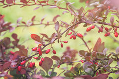 Barberry bush in autumn sunlight Stock Image