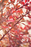 Barberry bush in autumn sunlight Royalty Free Stock Photo