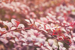Barberry bush in autumn sunlight Stock Images