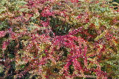 Barberry bush background Royalty Free Stock Images