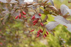 Barberry bush with berries. Barberry (Berberis vulgaris) bush with ripe berries. Shallow depth of field stock photos