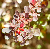 Barberry bush with berries ripen Royalty Free Stock Images