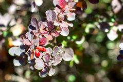 Barberry bush with berries ripen Royalty Free Stock Photos