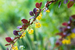 Barberry bush. Branch of barberry bushes. Spring flowering. Barberry blossoms small yellow flowers Royalty Free Stock Photography