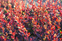Barberry bush, colorful floral red background Royalty Free Stock Photos