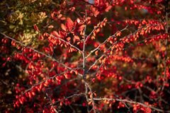 Barberry bush, colorful floral red background. Barberry berries on bush in autumn season, shallow focus. Autumn Park. The branch of a bush with fruits barberry stock images