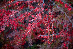 Barberry bush, colorful floral red background. Barberry berries on bush in autumn season, shallow focus. Autumn Park. The branch of a bush with fruits barberry royalty free stock photography