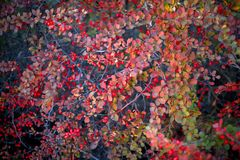 Barberry bush, colorful floral red background. Barberry berries on bush in autumn season, shallow focus. Autumn Park. The branch of a bush with fruits barberry royalty free stock photo