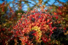 Barberry bush, colorful floral red background. Barberry berries on bush in autumn season, shallow focus. Autumn Park. The branch of a bush with fruits barberry stock photography