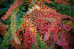 Barberry bush, colorful floral red background. Barberry berries on bush in autumn season, shallow focus. Autumn Park. The branch of a bush with fruits barberry stock photo