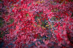 Barberry bush, colorful floral red background. Barberry berries on bush in autumn season, shallow focus. Autumn Park. The branch of a bush with fruits barberry royalty free stock photos