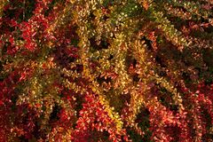 Barberry bush, colorful floral red background. Barberry berries on bush in autumn season, shallow focus. Autumn Park. The branch of a bush with fruits barberry royalty free stock images