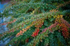 Barberry bush, colorful floral red background. Barberry berries on bush in autumn season, shallow focus. Autumn Park. The branch of a bush with fruits barberry royalty free stock image