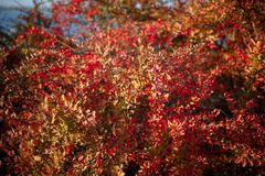 Barberry bush, colorful floral red background. Barberry berries on bush in autumn season, shallow focus. Autumn Park. The branch of a bush with fruits barberry stock image
