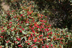 Barberry bush Stock Photo