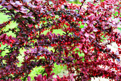 The barberry Bush. Outside the city Stock Photography