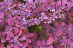 Barberry bush in spring or summer. Flowers and leaves of the ornamental japanese barberry Berberis thunbergii . selective focus Royalty Free Stock Images