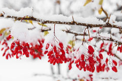 Barberry, First snow Stock Image