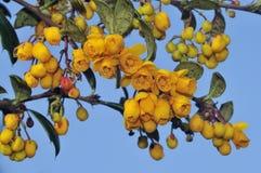 Barberry Flowers. Orange Barberry Flowers - Berberis vulgaris Royalty Free Stock Image