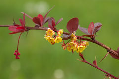 Barberry flowers Stock Photography