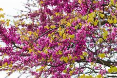 Barberry flowers blossom on a branch in spring Stock Photos