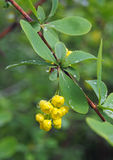 Barberry flowers twig in spring garden Royalty Free Stock Photography