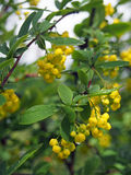 Barberry flowers twig in spring garden Stock Photo