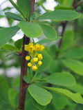 Barberry flowers twig in spring garden Stock Image