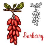 Barberry fruit sketch with red berry branch. Barberry fruit isolated sketch with red berry. Branch of berberis plant with ripe fruit and green leaf icon for royalty free illustration