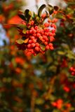 Barberry fruit on the tree. Barberry fruit is beautiful on the tree.They are red and attraktiv stock photo