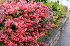 Barberry hedge in red autumn colouring. With water drops stock photo