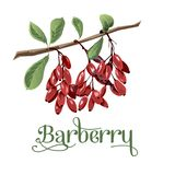 Barberry for lables. Posers, postcards and others Stock Images