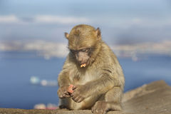 An  barberry monkey feeding with a seascape in the background Stock Photos