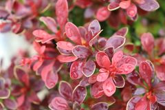 Barberry after the rain in the garden royalty free stock images