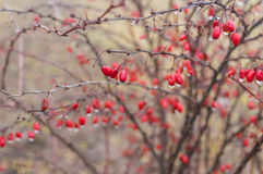 Barberry shrub with many ripe berries stock image