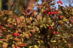 Barberry shrub with red berries. In a park in late autumn Stock Photography