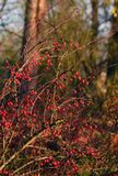 Barberry shrub with red berries. And no leaves in a park in late autumn Royalty Free Stock Photo